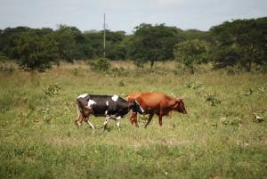 7 Die Milchviehhaltung in Zambia besteht überwiegend aus gehüteten Herden